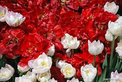 Київ, Співоче поле, тюльпани Травень 2019 InterNetri Ukraine 044