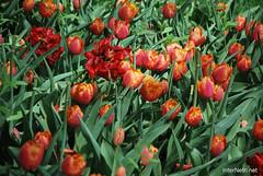 Київ, Співоче поле, тюльпани Травень 2019 InterNetri Ukraine 037
