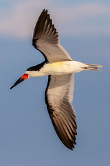 Black Skimmer Inflight (dbadair) Tags: outdoor sky nature wildlife 7dm2 7d ii ef100400mm ocean canon florida bird