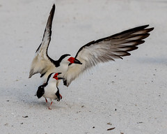 Pair of Black Skimmers Matting (dbadair) Tags: outdoor sky nature wildlife 7dm2 7d ii ef100400mm ocean canon florida bird