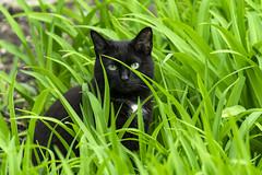 neighbors cat stalking the bird feeders (TAC.Photography) Tags: cat green black blackcat stalking