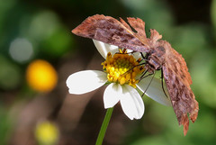 Unknown Skipper (peterkelly) Tags: digital canon 6d northamerica gadventures mayandiscovery mexico chiapas flower butterfly palenque palenquenationalpark skipper yellow