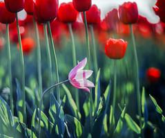 Laying Low (vtom61) Tags: flowers flower bokeh 120film 120 mediumformat smcpentax67105mmf24 tulips fujichrome provia provia100f pentax67105mm24 pentax67ii skagitvalley