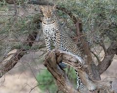 Leopard (Mark Vukovich) Tags: leopard cat mammal kenya