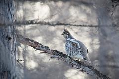 Hazel grouse backlit (alexander.alechits) Tags: sakhalin sakhalinisland seaofokhotsk spring okha hazelgrouse ©alexanderalechits canon eos сахалин весна рябчик оха bird