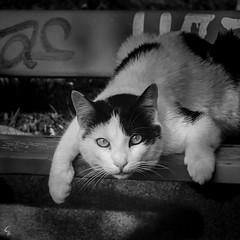 L o o k A t M e (Photeliart) Tags: sonydsch1 sonycybershot shot camera capture photo picture photographie animal cat blackandwhite blackandwhitephoto look regard eyes city bench tag light sun saintetienne