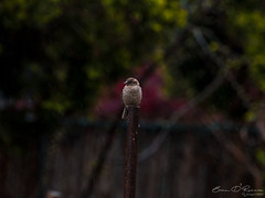 Solace (Brian D' Rozario) Tags: newyork brian19869 briandrozario nikon d750 70300mm bird birds drizzle rain weather climate spring nature animal flora fauna dof cute feather feathery mood moody green greenery vegetation backyard pose kingdom bokeh bokehlicious bokehcity pipe weekend solace peace peaceful tranquil