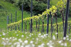 Vineyard in southern Styria (chk.photo) Tags: landschaft nature naturewatcher outdoor landscape natur naturemasterclass light ngc flower austria vineyard blume steiermark wine weinberg flickr