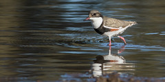 Red-kneed Dotterel (Erythrogonys cinctus) (sam_hierofalco) Tags: aves charadriidae erythrogonys cinctus