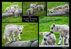 5 x Lambs at Play (pollylew) Tags: 5x lambs playing lambsplaying saddleworth dovestones