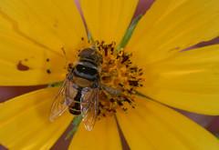 HFDF 3 May 2019 (cotinis) Tags: insect fly dipera syrphidae eristalinae palpada palpadavinetorum northcarolina piedmont canonef100mmf28macrousm fridayflyday fieldtrip dnhs20060909 inaturalist
