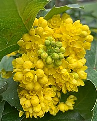 Wemmel-Garden-Oregon grape (foto_morgana) Tags: mahoniestruik druifstruik mahoniaaquifolium berberidaceae oregongrape aurorahdr2019 belgië belgique belgium bloemen fleurs flora flowers gardenflowers gardenplant gardening geel jaune jardin jardinage on1photoraw2019 outdoor tuin tuinieren tuinplant wemmel yellow