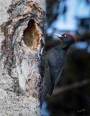 Ready to move in (MatsOnni) Tags: mattisaranpää palokärki dryocopusmartius blackwoodpecker male