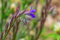 Piccoli fiori nascosti (2) / Small hidden flowers (2) (Eugenio GV Costa) Tags: approvato fiore fiori macro flower flowers wildflower