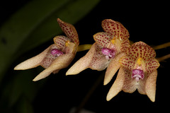Bulbophyllum guttulatum 2019-04-25 02 (JVinOZ) Tags: orchidspecies orchid bulbophyllum