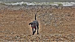 Enjoying The Beach. (ManOfYorkshire) Tags: black dog beach brighton sussex uk gb england south coast seaside explore pebbles