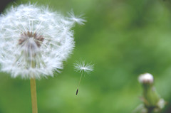 Dreams... (Krystian38) Tags: dreams nature dandelion closeup garden flowers beauty white green pentax sigma 1770