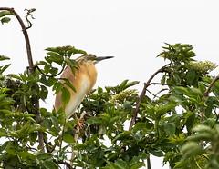 03 05 2019 (cathyk31) Tags: oiseau crabierchevelu ardeolaralloides ardéidés pélécaniformes squaccoheron bird