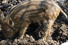 Baby Wild Boar (maggie224 -) Tags: wildwood animal canterbury wildboar baby piglet boar