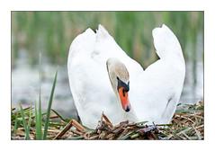 breeding swan (Dieter Gora) Tags: swan breeding höckerschwan schwan brutgeschäft brüten muteswan cygnusolor