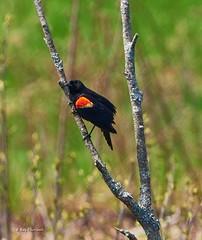 Red Winged Blackbird (RayTheriault) Tags: bird sigma 150600mm nikon nikond810 nature newhampshire 50 60 70 concord