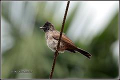 8809 - redvented bulbul (chandrasekaran a 59 lakhs views Thanks to all.) Tags: redventedbulbul bulbul birds nature india wayanad kerala canoneos6dmarkii tamronsp150600mmg2
