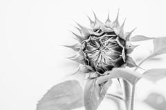 Sunflower Ready to Bloom in Black and White Low Key (Merrillie) Tags: wyongcreek flowers nature australia sunflower newsouthwales lowkey earlymorning nsw sunflowers contrasts macro flora blackandwhite yarramalongturfsupplies closeup plant annualplant green helianthusannuus yellow centralcoast field