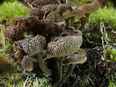 Auriscalpium umbella (New Zealand Wild) Tags: fungi basidiomycota agaricomycetes russulales auriscalpiaceae auriscalpium auriscalpiumumbella newzealandwild rapahoe westcoast newzealand