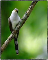 Yellow billed Cuckoo (RKop) Tags: magrishriversidepark cincinnati ohio raphaelkopanphotography d500 nikkor600f4evr nikon