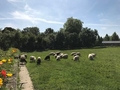 Les brebis à Beauval