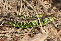 Sand Lizard (Lacerta agilis) (Sky and Yak) Tags: sandlizard sand lizard reptile reptilesandamphibians lacerta lacertaagilis agilis basking bask uklizards dorset