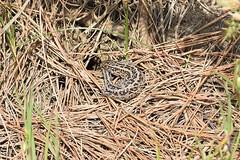Sand Lizard (Lacerta agilis) (Sky and Yak) Tags: sandlizard sand lizard reptile reptilesandamphibians lacerta lacertaagilis agilis basking bask uklizards dorset gravid egg burrow nest dig