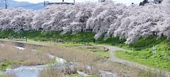 湯川沿いの桜並木 Row of Cherry Blossom (ELCAN KE-7A) Tags: 日本 japan 福島 fukushima 会津若松 aizuwakamatsu 桜 サクラ cherry blossom ペンタックス pentax k3ⅱ 2019
