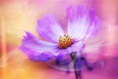 Flower for Shabat (Hana's images) Tags: cosmos art digital texture beauty macro plant flower d3100 nikon hanasimages beautiful garden capture bokeh color shabat soft flowerforshabat