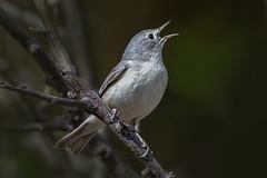Lucy's Warbler (Eric Gofreed) Tags: arizona lucyswarbler warbler yavapaicounty