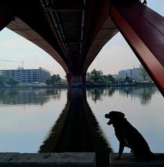 Belgrade (dinapunk) Tags: serbia belgrade bridge river dog pet animal rottweiler reflection contractions iron