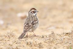 Lark Sparrow (Steve Rossi 2) Tags: larksparrow nature sparrow steverossi wildlife ohio canon 5d4