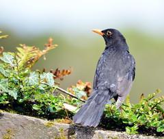 Blackbird (m) (Tom Kennedy1) Tags: blackbird turdusmerula gardenbirds thrushes irishwildlife