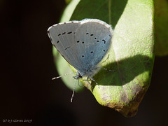 Holly Blue (ExeDave) Tags: p4218781 holly blue celastrina argiolus starcross teignbridge devon sw england gb uk insect invertebrate butterfly lepidoptera nature wildlife garden april 2019 underwing lycaenidae minibeast