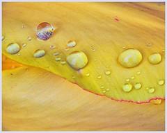 Spring abstract (Aileen Lannen Mozug) Tags: abstract flower tulip yellow petal raindrop