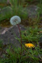 Löwenzahn (Lutz Blohm) Tags: löwenzahn blüten blumen wiesenblume naturfoto natur sonyfe24105mmf4goss sonyalpha7aiii rheinufer