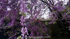 Judas tree flowering in Mayfield Road, Huntingdon 3rd May 2019 002 (D@viD_2.011) Tags: judastreefloweringinmayfieldroad huntingdon3rdmay2019