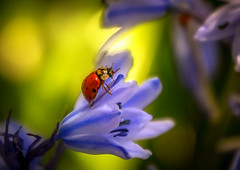 Flower lady (10000 wishes) Tags: ladybird insect flowers colourful beauty naturephotography naturallight outdoors macro