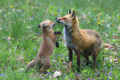 Gimme Kiss (curious_spider) Tags: fox foxes foxen redfox kits foxkits foxpups foxpuppies