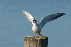 She isn't singing (evisdotter) Tags: fisktärna commontern sternahirundo bird fågel spring nature sooc