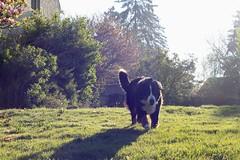 Freedom (Chapo78) Tags: dog nature garden green sunshine running happy freedom animal