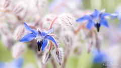 """Révérence d'un silence....! - Reverence a silence ....!""""Smile on Saturday"""" and """"Blue for you ME 2019"""" (minelflojor) Tags: bourrache bleue fleur tige poils feuille médicinale bienfait flou macro bokeh pétales sépales tamronsp90mmf28dimacro11vcusd plante borage blue flower stem fur leaf medicinal well done blurring petals sepals plant smileonsaturday blueforyoume2019"""