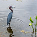 Little Blue Heron in Pilant Lake
