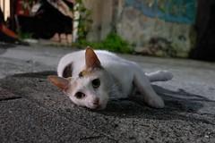 Cat (theq629) Tags: taipei taiwan daan animal cat