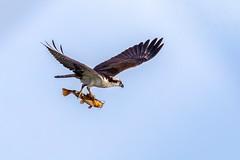 The air surfer (Daniel Q Huang) Tags: osprey hawks birds infilght sky blue prey